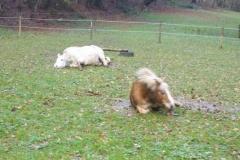 2013-11-11_Ponys_beim_wälzen_im_Schlamm