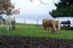 2014-11-05_drei_Ponys_auf_der_Hauswiese